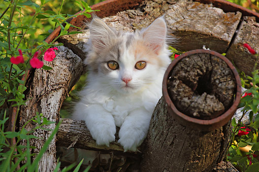CAT 03 SJ0127 01 © Kimball Stock White Kitten Sitting In Wagon Wheel In Garden