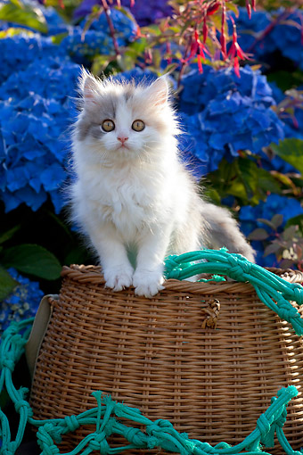 CAT 03 SJ0129 01 © Kimball Stock Calico Kitten Sitting In Basket By Flowers