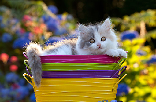 CAT 03 SJ0130 01 © Kimball Stock Calico Kitten Female Sitting In Buckets By Flowers