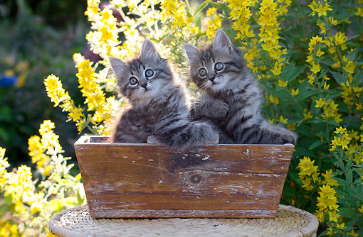 CAT 03 SJ0131 01 © Kimball Stock Tabby Kittens Sitting In Flower Box By Flowers