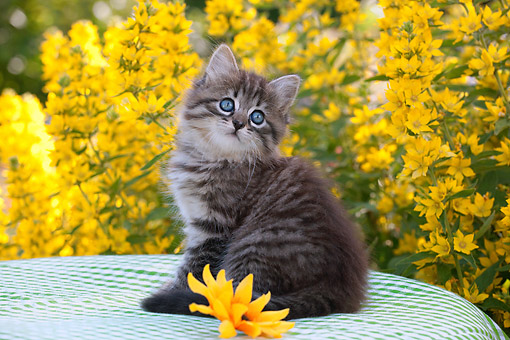 CAT 03 SJ0139 01 © Kimball Stock Tabby Kitten Sitting On Table By Flowers