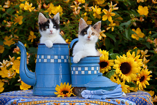 CAT 03 SJ0141 01 © Kimball Stock Calico Kittens Sitting In Pots