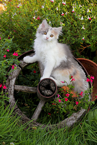 CAT 03 SJ0143 01 © Kimball Stock Calico Kitten Sitting In Wagon Wheel