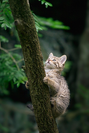 CAT 03 WF0003 01 © Kimball Stock European Wildcat Kitten Climbing Up Tree Trunk In Forest