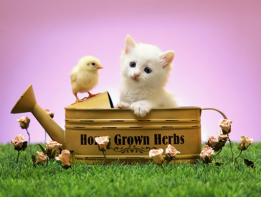 CAT 03 XA0001 01 © Kimball Stock Kitten And Baby Chick Sitting In Watering Can With Grass And Flowers