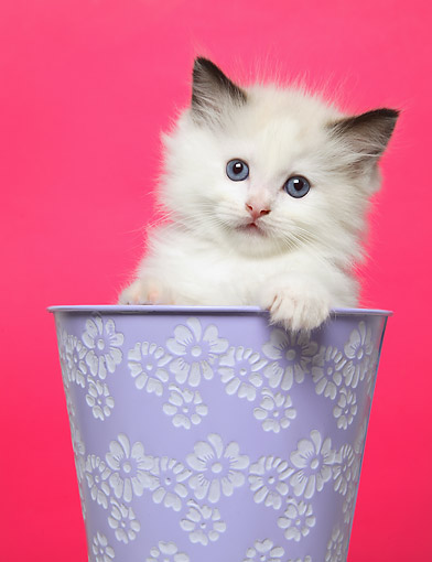 CAT 03 XA0004 01 © Kimball Stock White Kitten Sitting In Purple Flower Pot In Studio