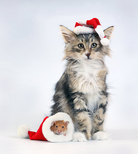CAT 03 XA0007 01 © Kimball Stock Cat And Mouse In Santa Hats In Studio