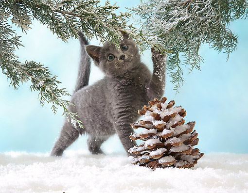 CAT 03 XA0011 01 © Kimball Stock Gray Kitten Playing In Snow Under Pine Tree
