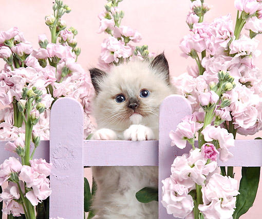 CAT 03 XA0012 01 © Kimball Stock Siamese Kitten On Pink Fence With Flowers