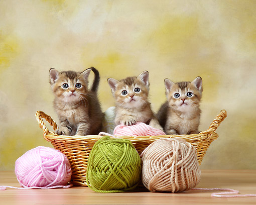 CAT 03 XA0015 01 © Kimball Stock Tabby Kittens Sitting In Basket With Yarn