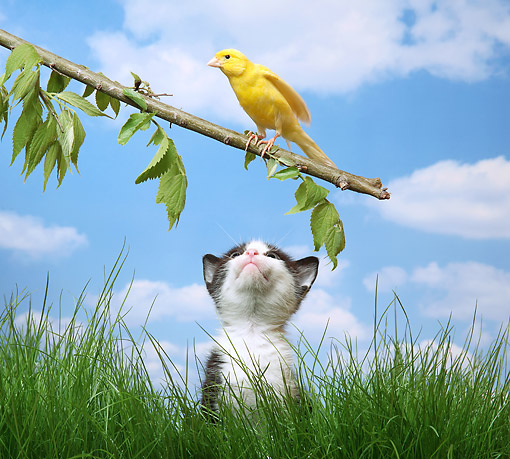 CAT 03 XA0017 01 © Kimball Stock Tabby Kitten Sitting In Grass Looking At Bird On Branch