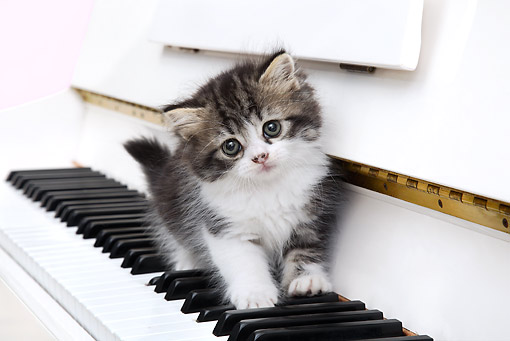 CAT 03 XA0019 01 © Kimball Stock Tabby Kitten Walking On Piano