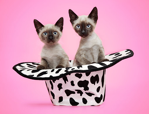CAT 03 XA0027 01 © Kimball Stock Siamese Kittens Sitting In Cow Print Cowboy Hat
