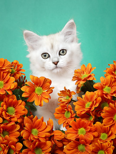 CAT 03 XA0032 01 © Kimball Stock Young Cat Sitting With Flowers