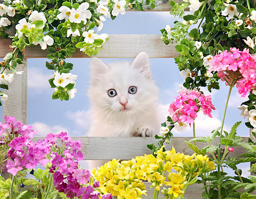 CAT 03 XA0036 01 © Kimball Stock Kitten Laying On Fence With Flowers