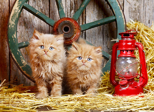 CAT 03 XA0039 01 © Kimball Stock Orange Tabby Kittens Sitting In Barn With Wagon Wheel And Lantern