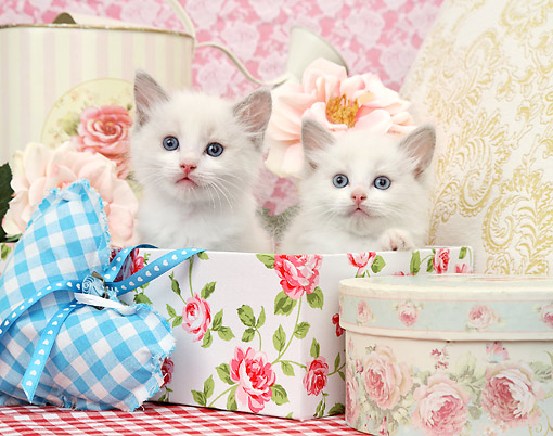 CAT 03 XA0042 01 © Kimball Stock White Kittens Sitting In Boxes With Flower Patterns