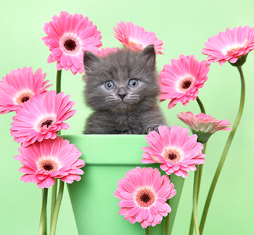 CAT 03 XA0043 01 © Kimball Stock Kitten Sitting In Flower Pot