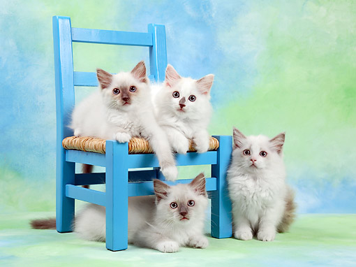 CAT 03 XA0044 01 © Kimball Stock Kittens Sitting On And Around Chair In Studio