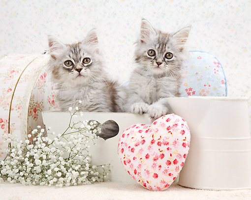 CAT 03 XA0046 01 © Kimball Stock Kittens Sitting With Flowers And Heart Pillows