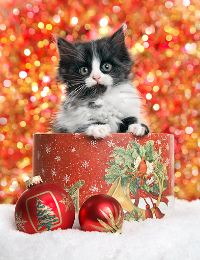 CAT 03 XA0049 01 © Kimball Stock Black And White Kitten Sitting In Christmas Box With Oranaments In Snow