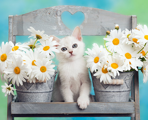 CAT 03 XA0053 01 © Kimball Stock White Kitten Sitting With Flower Pots