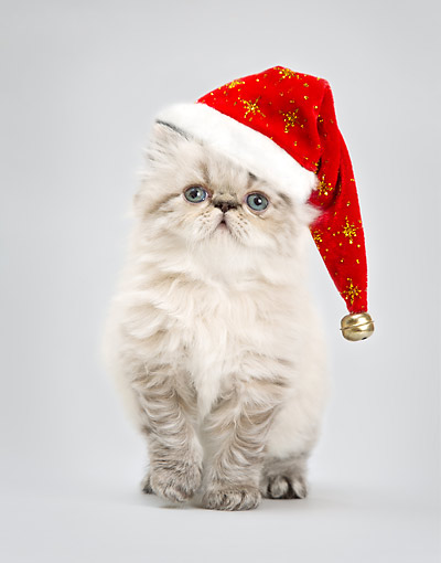 CAT 03 XA0064 01 © Kimball Stock Kitten Wearing Christmas Hat In Studio