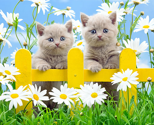 CAT 03 XA0068 01 © Kimball Stock Kittens Standing In Grass With Fence And Flowers