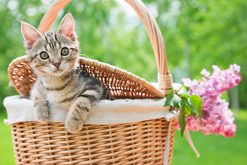 CAT 03 YT0017 01 © Kimball Stock American Shorthair Kitten Sitting In Picnic Basket With Pink Flowers