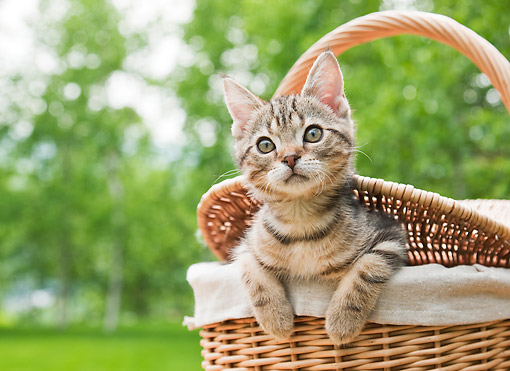CAT 03 YT0018 01 © Kimball Stock American Shorthair Kitten Sitting In Picnic Basket