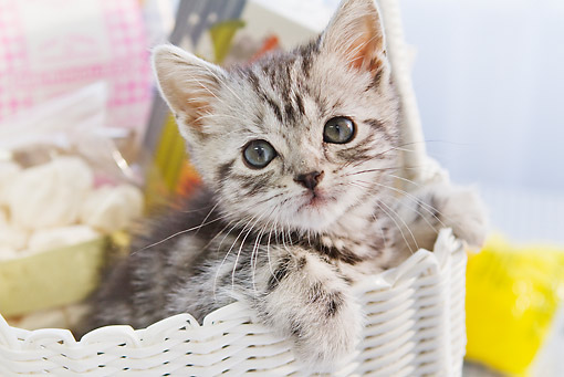 CAT 03 YT0020 01 © Kimball Stock American Shorthair Kitten Sitting In Basket