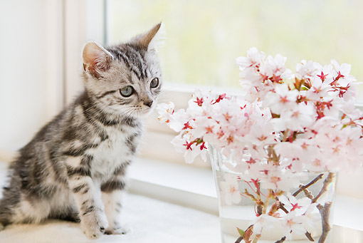 CAT 03 YT0023 01 © Kimball Stock American Shorthair Kitten Sitting By Vase Of Pink Flowers