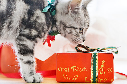 CAT 03 YT0025 01 © Kimball Stock Close-Up Of American Shorthair Kitten Sniffing Red Gift Box
