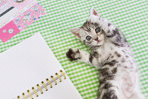 CAT 03 YT0026 01 © Kimball Stock American Shorthair Kitten Playing On Table By Notebook
