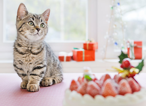 CAT 03 YT0028 01 © Kimball Stock Munchkin Kitten Sitting By Strawberry Cake And Christmas Gifts