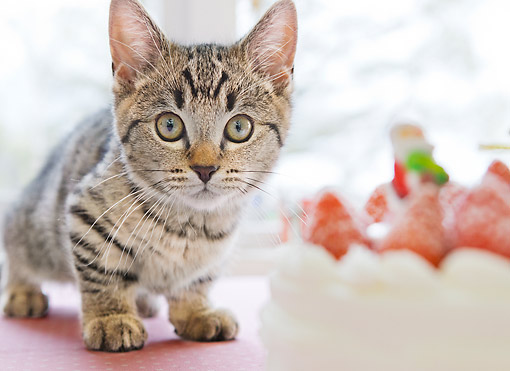 CAT 03 YT0029 01 © Kimball Stock Munchkin Kitten Crouching By Strawberry Cake And Christmas Gifts