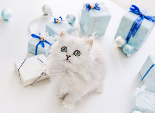 CAT 03 YT0031 01 © Kimball Stock Persian Kitten Sitting By Blue And White Gift Boxes