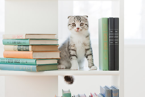 CAT 03 YT0035 01 © Kimball Stock Scottish Fold Kitten Sitting On Book Shelf