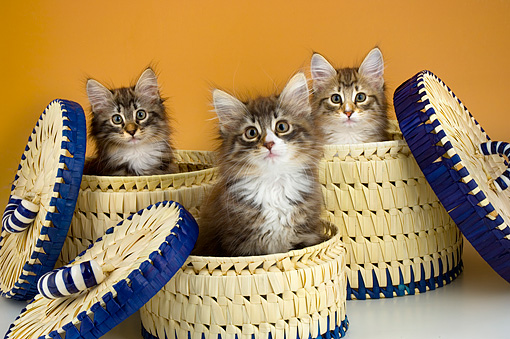 CAT 03 AL0004 01 © Kimball Stock Portrait Group Head Shot Of Norwegian Forest Kittens In Baskets