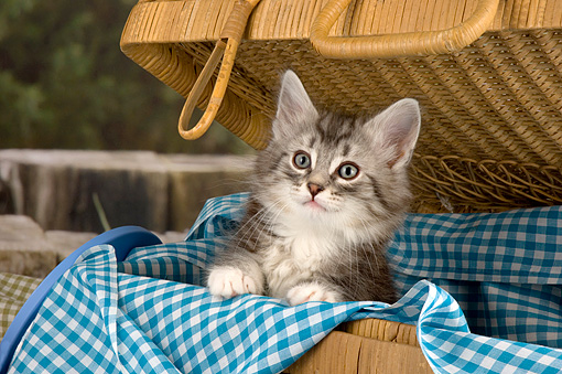 CAT 03 AL0016 01 © Kimball Stock Portrait Head Shot Of Gray And White Kitten In Picnic Basket