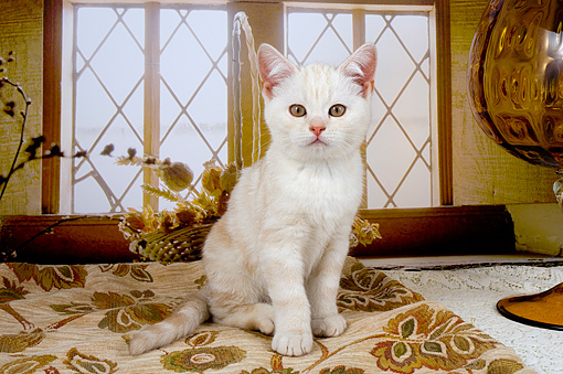 CAT 03 AL0032 01 © Kimball Stock Portrait Of British Shorthair White By Window