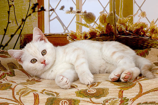 CAT 03 AL0033 01 © Kimball Stock Portrait Of British Shorthair White By Window