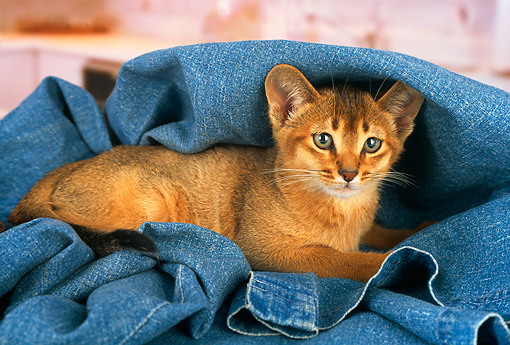 CAT 03 AL0040 01 © Kimball Stock Abyssinian Kitten Laying On Jeans