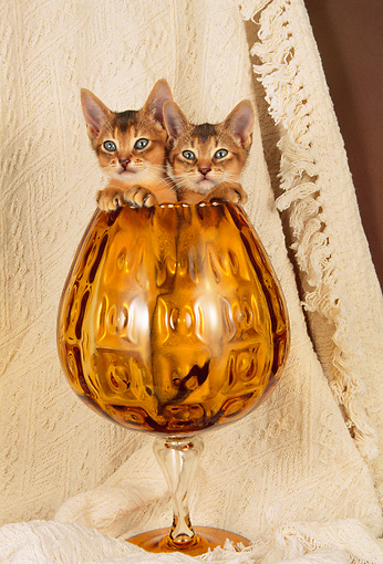 CAT 03 AL0044 01 © Kimball Stock Head Shot Of Two Abyssinian Kittens In Glass Cup