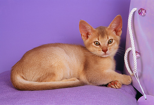 CAT 03 AL0049 01 © Kimball Stock Abyssinian Kitten Laying On Chair
