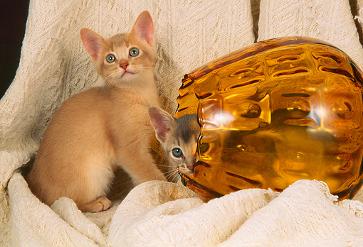 CAT 03 AL0057 01 © Kimball Stock Abyssinian Kittens Playing In Glass