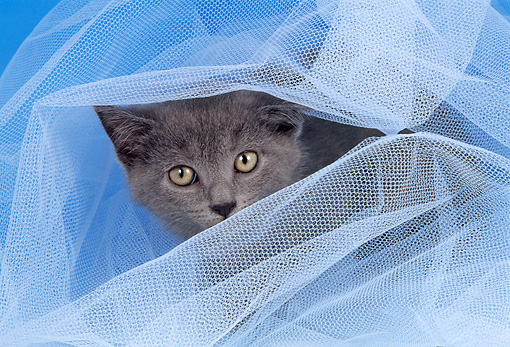 CAT 03 AL0065 01 © Kimball Stock Head Shot Of Chartreux In Tulle