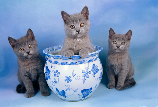 CAT 03 AL0066 01 © Kimball Stock Chartreux Kittens By Vase