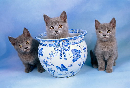 CAT 03 AL0068 01 © Kimball Stock Chartreux Kittens By Vase