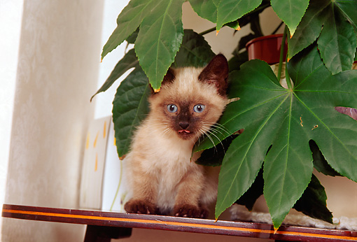 CAT 03 AL0083 01 © Kimball Stock Birman Kitten By Plant